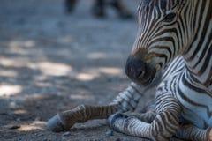 Конец-вверх зебры Grevy младенца лежа вниз Стоковые Изображения RF
