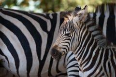 Конец-вверх зебры Grevy младенца около матери Стоковая Фотография RF