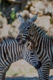 Конец-вверх зебры Grevy отдыхая на других Стоковые Фото