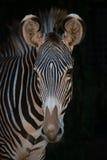 Конец-вверх зебры Grevy смотря камеру Стоковые Фотографии RF