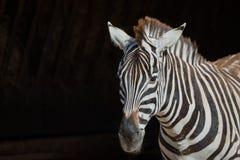 Конец-вверх зебры Grevy смотря к камере Стоковое Фото