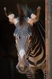 Конец-вверх зебры Grevy стоя в амбаре Стоковое Изображение