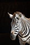 Конец-вверх зебры Grevy стоя в солнечном свете Стоковые Изображения