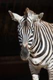 Конец-вверх зебры Grevy стоя в солнечности Стоковая Фотография