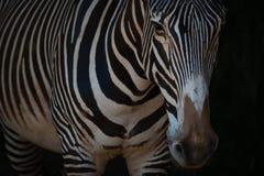Конец-вверх зебры Grevy стоя в темноте Стоковые Изображения