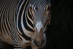Конец-вверх зебры Grevy стоя в черноте Стоковое фото RF