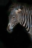 Конец-вверх зебры Grevy с грязной гривой Стоковое фото RF