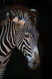 Конец-вверх зебры Grevy с пониженной головой Стоковое Изображение