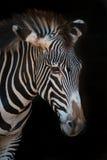 Конец-вверх зебры Grevy с свисая головой Стоковое Изображение