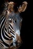 Конец-вверх зебры Grevy с темнотой позади Стоковое Фото