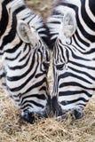 Конец-вверх 2 зебр есть траву Стоковые Фото