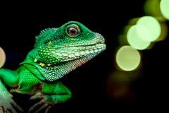 Конец-вверх зеленой красивой ящерицы Стоковая Фотография