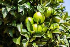 Конец-вверх зеленых апельсинов на оранжевом дереве astrological стоковое изображение rf