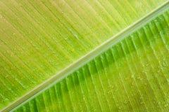 Конец-вверх зеленых лист бананового дерева, естественная текстура стоковая фотография rf