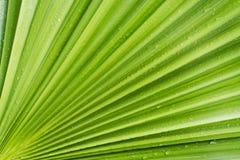 Конец-вверх зеленых лист дерева финиковой пальмы, естественная текстура стоковая фотография rf