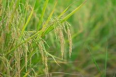Конец вверх зеленых неочищенных рисов Зеленое ухо риса в неочищенных рисах fi Стоковые Изображения RF