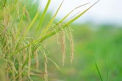 Конец вверх зеленых неочищенных рисов Зеленое ухо риса в неочищенных рисах fi Стоковое Изображение