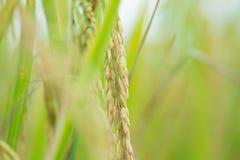 Конец вверх зеленых неочищенных рисов Зеленое ухо риса в неочищенных рисах fi Стоковые Фотографии RF