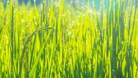 Конец вверх зеленых неочищенных рисов Зеленое ухо риса в неочищенных рисах fi Стоковая Фотография