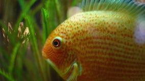 Конец-вверх золотого плавания рыб в аквариуме r Тропическая большая рыбка с белыми пятнами плавает в чистом аквариуме акции видеоматериалы
