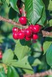 Конец-вверх зрелых вишен на вишневом дереве в саде Стоковые Фото