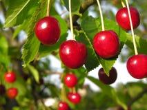 Конец-вверх зрелых вишен на дереве Стоковые Фото