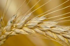 Конец-вверх зрелого уха пшеницы стоковое изображение rf