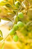 Конец-вверх зрелых зеленых оливок Стоковые Фотографии RF