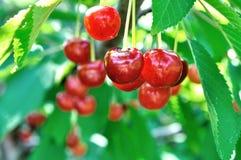 Конец-вверх зрелых сладостных вишен на дереве Стоковые Изображения RF