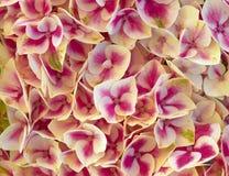 Конец-вверх листвы Coleus красочный Стоковые Изображения RF