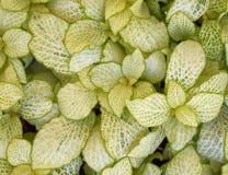 Конец-вверх листвы Coleus красочный Стоковая Фотография RF