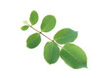 Конец-вверх лист розы зеленого цвета Стоковое Изображение RF