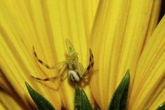 Конец-вверх кавказского молодого паук-краба со своей добычей на flowe стоковые изображения rf