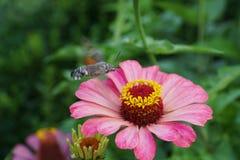 Конец-вверх кавказского collec roisterer affinis Hemaris бабочки стоковая фотография