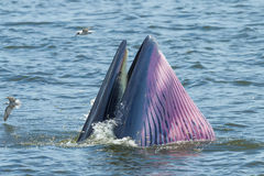 Конец вверх кита Bryde закрывая ее держатель Стоковые Фото