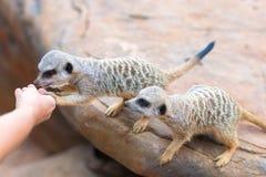 Конец-вверх клана руки подавая suricatta Suricata Meerkats, африканских родных животных, малого мясоеда принадлежа к мангусте fa Стоковая Фотография