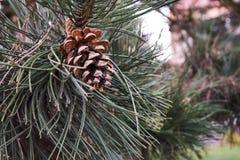 Конец-вверх конуса сосны с ветвью дерева хвои Стоковая Фотография