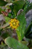 Конец-вверх конца кактуса шиповатой груши вверх с плодоовощ в позвоночниках кактуса красного цвета Стоковые Фотографии RF