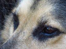 Конец-вверх коричневого цвета Shepard немца наблюдает смотреть прямо в расстояние Глаза ` s собаки Стоковые Изображения