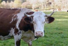 Конец-вверх коровы в луге Стоковые Изображения RF