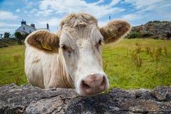 Конец-вверх коровы Welsh стоковые изображения rf