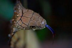 Конец-вверх короля кобры с языком вне Стоковое фото RF