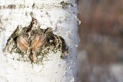 Конец-вверх коры дерева березы Стоковое Изображение RF