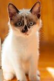 Конец-вверх котенка внутри помещения Стоковые Изображения RF