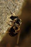Конец-вверх, который подогнали кавказца муравьев на том основании стоковое изображение rf