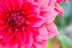 Конец-вверх красивого и свежего красного цветка в тропической зоне Стоковые Изображения