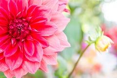 Конец-вверх красивого и свежего красного цветка в тропической зоне Стоковая Фотография