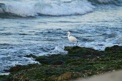 Конец-вверх красивого маленького Egret, Egretta Garzetta, Seascape, Сицилия, Италия, Европа стоковые изображения