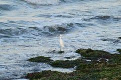 Конец-вверх красивого маленького Egret, Egretta Garzetta, Seascape, Сицилия, Италия, Европа стоковое изображение