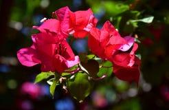 Конец-вверх красивого розового тропического цветка, бугинвилия в цветени Стоковые Изображения